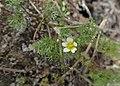 Ranunculus trichophyllus kz05.jpg