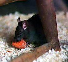 Rattus rattus, a espécie de ratazana responsável pela disseminação da peste durante a Idade Média