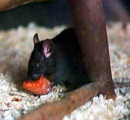 Táplálkozó házi patkány