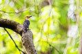 Red-bellied woodpecker (17416133679).jpg