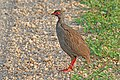 Red-necked spurfowl (Pternistis afer cranchii).jpg
