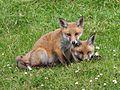 Red Fox (Vulpes vulpes) (11).jpg