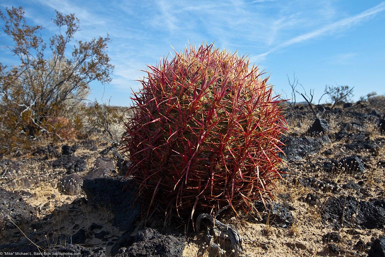 File:Red barrel cactus...