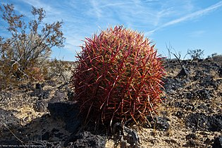 Red barrel cactus, in Lava field off Kelbaker Road.jpg