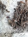 Red belly spider 2020 arlington texas (1) 08.jpg