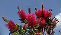 Red bottlebrush flower.jpg