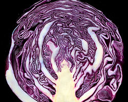Red cabbage cross section 02.jpg