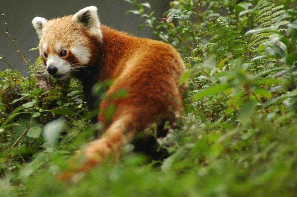 Red panda sikkim