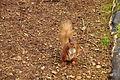 Red squirrel in Snaizeholme (7070).jpg