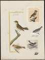 Regulus ignicapillus - 1700-1880 - Print - Iconographia Zoologica - Special Collections University of Amsterdam - UBA01 IZ16200210.tif