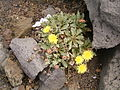Reichardia ligulata (El Faro) 02 ies.jpg