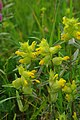 Rhinanthus minor - geograph.org.uk - 1317216.jpg