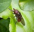 Rhingia campestris - Flickr - gailhampshire (10).jpg