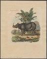 Rhinoceros unicornis - 1700-1880 - Print - Iconographia Zoologica - Special Collections University of Amsterdam - UBA01 IZ22000189.tif