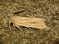 Rhizedra lutosa (9738444965).jpg