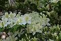 Rhododendron Allegory 4zz.jpg