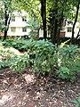 Rhododendron irroratum - Kunming Botanical Garden - DSC02843.JPG
