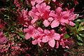 Rhododendron kaempferi - Arnold Arboretum - DSC06698.JPG