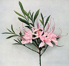 Rhododendron periclymenoides WFNY-154.jpg