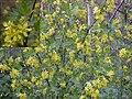 Ribes aureum.jpg