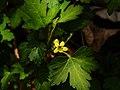 Ribes fasciculatum var. chinense 2.jpg