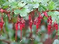 Ribes speciosum (13620512185).jpg
