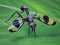Richardiidae - Carlos Botelho.jpg
