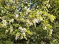 Robinia pseudoacacia, Ehrenbach.jpg