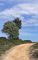 Robinia pseudoacacia and Pinus halepensis, Castelnau-de-Guers 01.jpg