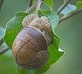 Roman snail (51122761756).jpg