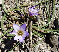 Romulea bulbocodium.jpg