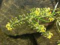 Rorippa amphibia sl11.jpg