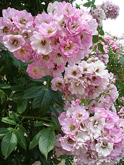 Rosa Blush Rambler2UME