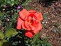 Rosa Lady Rose 2018-07-10 5408.jpg