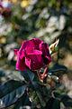 Rose, Intrigue - Flickr - nekonomania (6).jpg