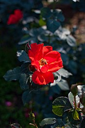 Rose, Sarabande - Flickr - nekonomania.jpg