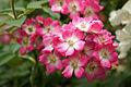 Rose Mozart バラ モーツァルト (5677644713).jpg
