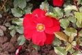 Rose Orage ete 20070601.jpg