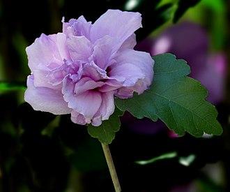 Hibiscus syriacus - Hibiscus syriacus 'Ardens' – double-flowered