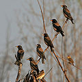 Rosy Starling (Sturnus roseus) near Hyderabad W IMG 4837.jpg