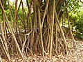 Rubber fig (Ficus elastica) aerial roots.jpg