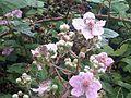 Rubus fruticosus wetland 20.jpg