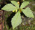 Rubus ikenoensis (leaf).JPG