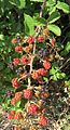 Rubus ulmifolius - Flickr - Dick Culbert.jpg