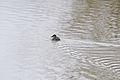 Ruddy Duck ♀ (Oxyura jamaicensis) (12725453494).jpg