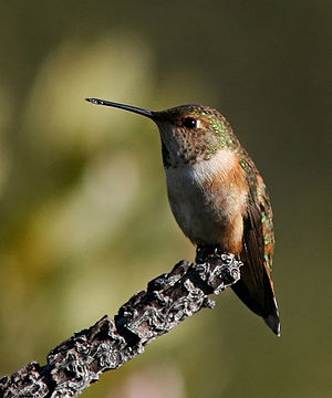 Rufous hummingbird - A perched female rufous hummingbird