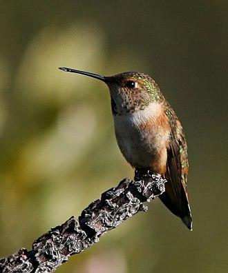 Rufous hummingbird - A perched female rufous hummingbird