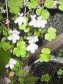 Ruhland, Grenzstr. 3, Mauer-Zimbelkraut im Garten, blühend, Frühling, 01.jpg
