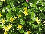 Ruhland, Grenzstr. 3, Scharbockskraut im Garten, blühend, Frühling, 01.jpg