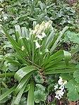 Ruhland, Grenzstr. 3, Spanisches Hasenglöckchen, weiß blühend, Knospen öffnend, Frühling, 03.jpg